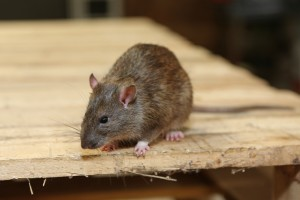 Rodent Control, Pest Control in Dagenham, RM8, RM9, RM10. Call Now 020 8166 9746