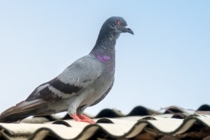 Pigeon Pest, Pest Control in Dagenham, RM8, RM9, RM10. Call Now 020 8166 9746